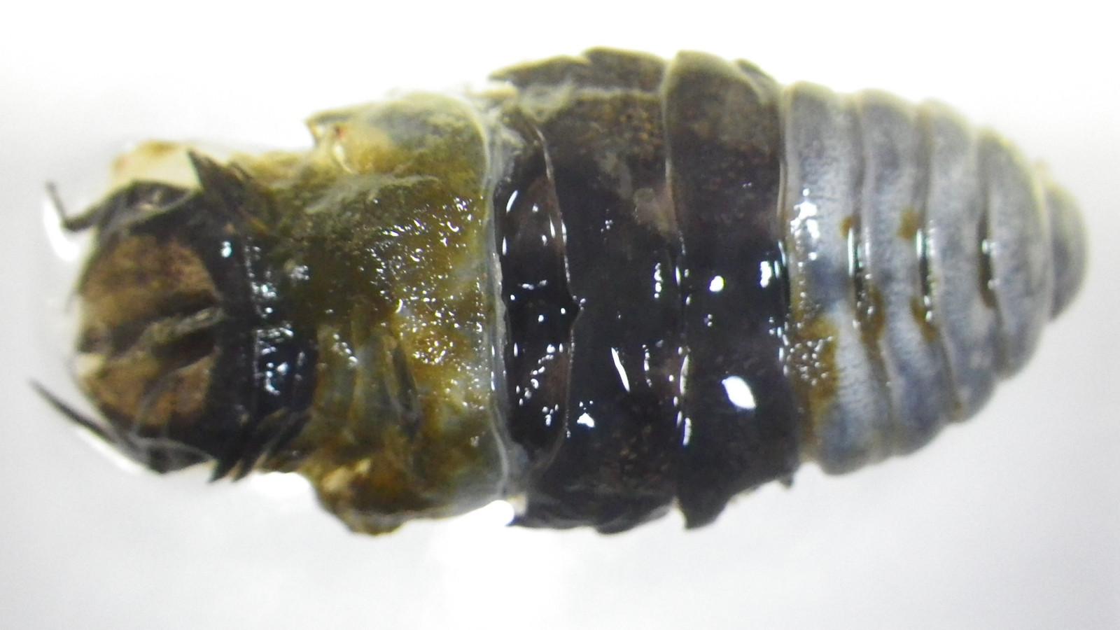 ウオノコバン属 Nerocila: だん...